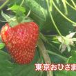 中まで真っ赤!宝石のような東京生まれのイチゴ「東京おひさまベリー」