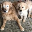 視力を失い光を失った老犬に希望の光を与えたのは小さな子犬だった(アメリカ)