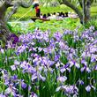梅雨に咲くクールビューティー!関東の花しょうぶを見に行こう♪