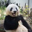 もうすぐ2歳だよー 上野動物園でジャイアントパンダ「シャンシャン」の誕生記念企画を実施