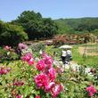 綺麗なバラが咲き誇る!長野県伊那市で「第12回 高遠「しんわの丘ローズガーデン」バラ祭り」開催中
