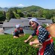 川奈ホテル「春のチャレンジ茶摘みプラン」を販売