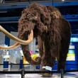 世界初公開の貴重な標本一挙公開!日本科学未来館「マンモス展」プレス内覧会に行ってきた