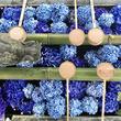 紫陽花の花手水が映える!約5千株が咲く京都・柳谷観音「あじさいウィーク」