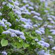 六甲高山植物園 甘い香りが漂う清楚な花 コアジサイが見頃を迎えました!