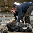 ウィリアム英王子夫妻、ヒツジの毛刈りに挑戦