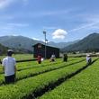 新茶の季節ならではの貴重体験! 2019年6月23日限定【お茶摘み体験ツアー】開催