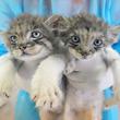 那須どうぶつ王国で生まれたマヌルネコの双子ちゃん 7月13日から一般公開