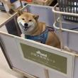 柴犬が大型犬用ショッピングカートに乗った結果→「ニコニコ笑って嬉しそう」「笑顔満面」