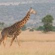 「キリンの交尾は90%がオス同士」→その衝撃的な理由がこちら!