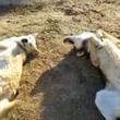 オオカミ犬の意外な姿!?ゴロンゴロンしている仕草に思わずほっこり