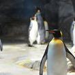 「あれ、この子…」 ピタリと寄り添う1羽のペンギン、見覚えがあると思ったら?