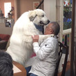 デカ過ぎる甘えん坊!大好きなブリーダーさんが来た時の超大型犬グレート・ピレニーズの甘えっぷりが可愛すぎると話題に!
