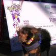 米カリフォルニア州でブサイク犬コンテスト、今年は雑種犬が優勝