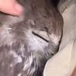ドキドキの猛禽力。お姉さんがジャケットの中を見せたら、そこにいたのは可憐なフクロウ