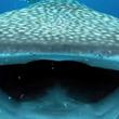 うわっ、食べないで!ビックリした!ジンベエザメに目の前でぱくりんちょされたダイバー