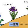 [アヤメ、カキツバタ、ハナショウブ]いずれアヤメかカキツバタ…そしてハナショウブ?|アヤメ科アヤメ属