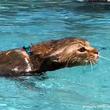 カワウソが水中を泳いでる!?いいえ違います、それは猫です。