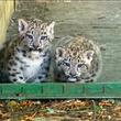 ユキヒョウの赤ちゃん兄弟、英保護施設を散歩