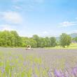 5万株のラベンダーが咲き誇る癒しの楽園!群馬県たんばらラベンダーパークがオープン