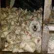 ニワトリ小屋に同系色(カモフラージュ)された異種動物が入り込んだだとう?!ニワトリと一緒に寝ようとする犬に関しての海外の反応