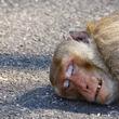事故により命を落とした母猿、悲しみに打ちひしがれた猿の赤ん坊