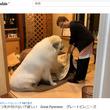 こたつを片付けてほしくない大型犬 まさかの行動に、爆笑