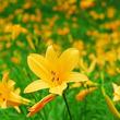 六甲高山植物園 一面に広がる黄色の花畑 約2,000株のニッコウキスゲが見頃です!