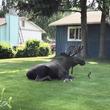 記録的熱波のアラスカ。巨大なヘラジカが庭でやっていた行動が話題に!