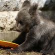 母とはぐれ弱っていたヒグマの赤ちゃん、サラエボ動物園で回復