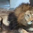 「寝てるライオン見て何が楽しいの?」 その『答え』が分かる動画に反響!