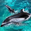 アドベンチャーワールド 鯨類繁殖プロジェクト 7月15日(月)カマイルカの⾚ちゃんが誕生しました!