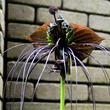 """まるで""""黒猫""""?!珍しい形の熱帯植物「タッカ・シャントリエリ(通称:ブラック・キャットほか)」が2019年7月19日(金)開花しています!見頃は8月上旬まで(小田原フラワーガーデン)"""
