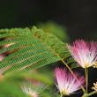 梅雨末期に花開く……ネムノキの夢幻の境地