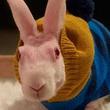 生まれた時から無毛。無毛ののウサギに手編みのセーターを