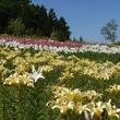 約50種400万輪のユリが園内に咲き誇る!栃木県ハンターマウンテン塩原で「ゆり博2019」開催