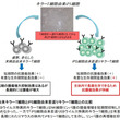 iPS細胞由来の免疫キラーT細胞を用いることで悪性リンパ腫の治癒に成功