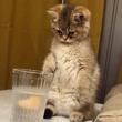 好奇心いっぱいの子猫が炭酸水に前足を入れてみた。うっかり猫であることを忘れた。