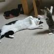 手に汗握る子ネコの必殺ネコパンチ! 大きなネコに果敢に挑む子ネコの動きから目が離せない