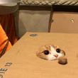 箱から出たくないニャ 箱に空いた穴から毛玉を狙う猫ちゃんのまんまる顔がかわいい