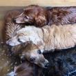 犬たちが温泉に浸かる動画ツイートに「カピバラかな?」の声