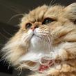 スターねこ界の大御所!?しょんぼり顔のもふもふ猫、ふーちゃんに癒やされる