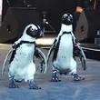 ペンギンがランウェイに! よちよち歩きに「かわいい」の声続出