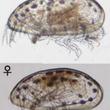日本工営、アカウミガメの甲羅から新種の超小型甲殻類を発見