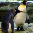 ペンギンの同性カップル、放棄された卵温める ベルリン動物園で