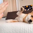 柴犬が寝転がったままタッチしようとした結果→「届かないのを承知でエアータッチ」
