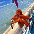 ルアーで釣れる夏の「マダコ」は刺身も唐揚げも超絶ウマかった!