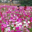 三浦半島内でも最大級!約100万本の花畑が見頃「コスモスまつり」2019年9月7日(土)~10月27日(日)開催(横須賀市くりはま花の国)