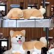 何度もループしたくなるかわいさ...! 秋田犬バルーンの「起動」動画が癒される