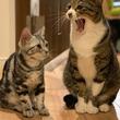 大きな猫があくびをすると… 猫ちゃんズの行動に「全人類が萌えた」